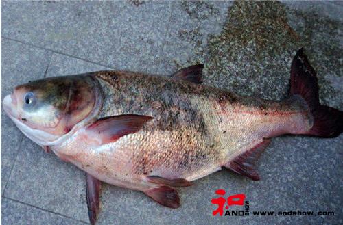 钓友分享浮钓和底钓鲢鳙鱼的区别(一)